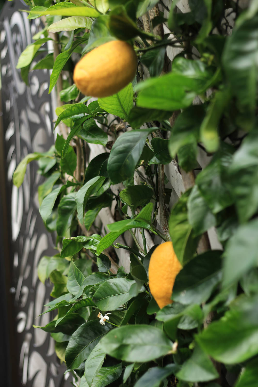 Growing the Perfect Citrus
